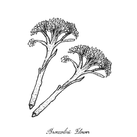 Vegetable, Illustration of Hand Drawn Sketch Illustration of Delicious Fresh Broccoli.