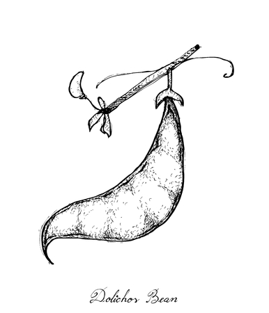 Vegetable, Illustration of Hand Drawn Sketch Dolichos Lablab, Hyacinth Bean or Surti Papdi Pods Isolated on White Background.