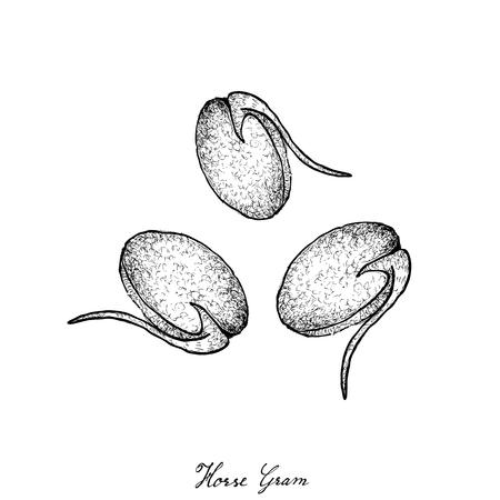 Vegetable and Herb, Illustration of Hand Drawn Sketch Horse Gram, Macrotyloma Uniflorum or Kulthi Bean.