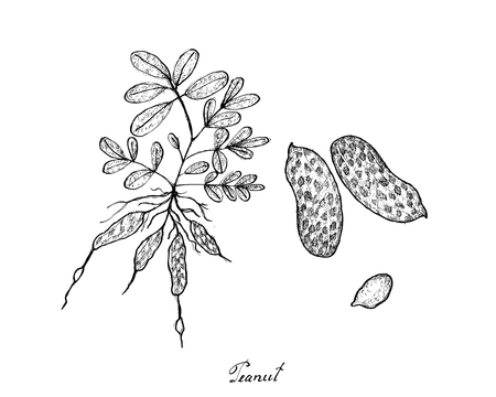 Vegetable and Fruit, Illustration of Hand Drawn Sketch Fresh Peanuts or Groundnut with Groundnut Plants With Groundnuts And Roots.