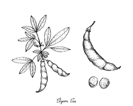 Vegetable, Illustration of Hand Drawn Sketch Fresh Pigeon Pea and Cajanus Cajan Plant with Pods Isolated on White Background.