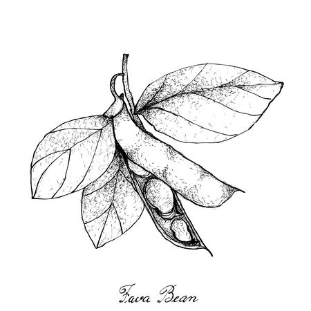 Gemüse, Illustration von Hand gezeichneter Skizze frischem Fava Bean oder Puffbohnen auf dem Baum lokalisiert auf weißem Hintergrund.