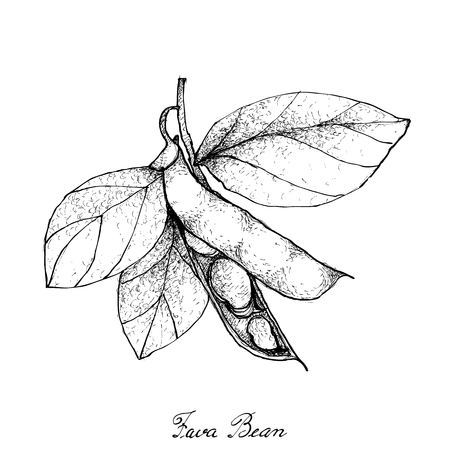 Vegetable, Illustration of Hand Drawn Sketch Fresh Fava Bean or Broad Beans on Tree Isolated on White Background. Illustration