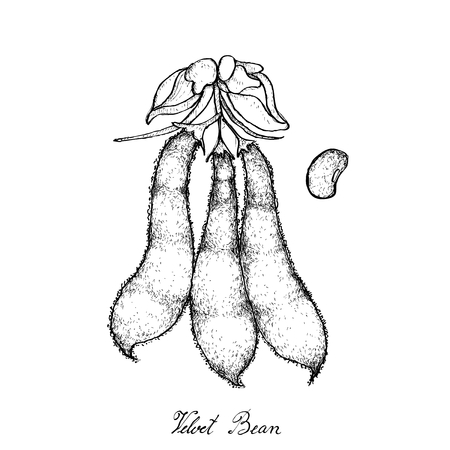 Vegetable, Illustration of Hand Drawn Sketch Velvet Bean or Mucuna Pruriens Pods on White Background.