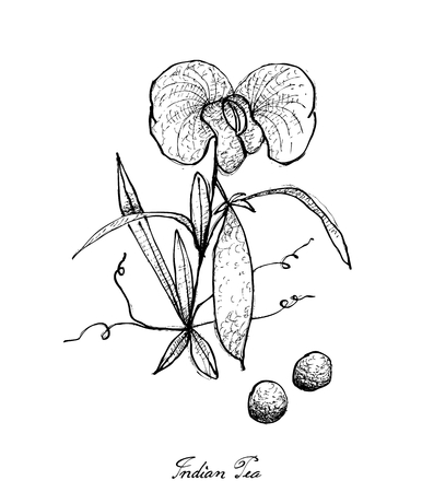 Vegetable, Illustration of Hand Drawn Sketch Fresh Indian Pea Plant with Flower and Pods Isolated on White Background. Illustration
