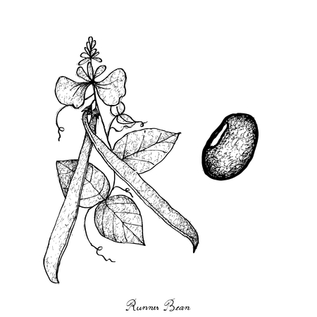 Vegetable, Illustration of Hand Drawn Sketch Fresh Runner Beans on Tree Isolated on White Background. Çizim