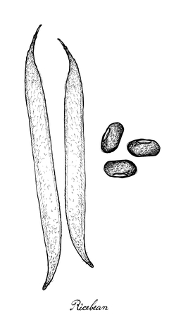 vigna: Vegetable, Illustration of Hand Drawn Sketch Ricebean Pod and Grains on White Background.