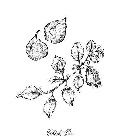 Légumes et herbes, Illustration de croquis dessinés à la main, jeunes haricots Garbanzo frais ou cosses de pois chiches sur un arbre.