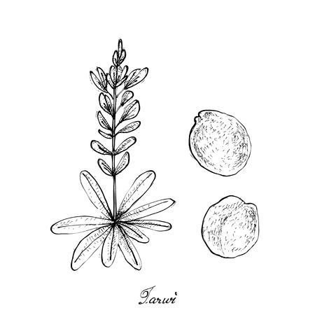 Vegetable and Herb, Illustration of Hand Drawn Sketch Fresh Tarwi Beans or Lupinus Mutabilis Pods on A Tree. Illustration