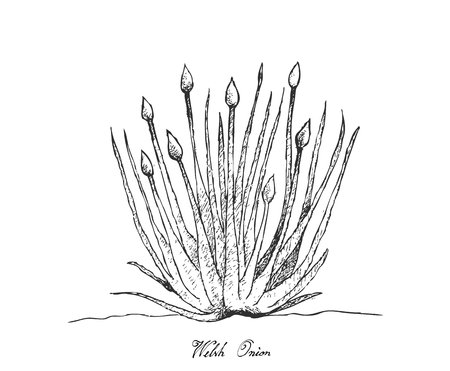 Bulb and Stem Vegetable, Illustration Hand Drawn Sketch Fresh Welsh Onion or Allium Fistulosum for Seasoning in Cooking. Isolated on White Background.