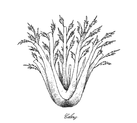 Vegetable and Herb, Vector Illustration of Bunch of Fresh Celery Used for Seasoning in Cooking. Illustration
