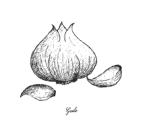 Bulb & Stem Vegetable, Illustration of Hand Drawn Sketch of A Dried Garlic Bulb Used for Seasoning in Cooking. Isolated on White Background.