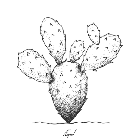 Stem Vegetable, Illustration Hand Drawn Sketch of Nopal Cactus or Prickly Pear Cactus Isolated on White Background