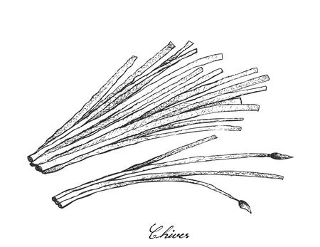 Stem Vegetable, Illustration of Hand Drawn Sketch Flowering Chives or Allium Schoenoprasum Isolated on White Background