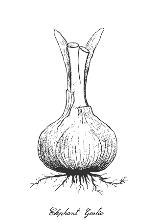 Bulb & Stem Vegetable, Illustration of Hand Drawn Sketch Elephant Garlic or Allium Ampeloprasum Bulb Isolated on White Background, Used for Seasoning in Cooking.