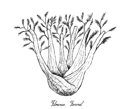 Bulb & Stem Vegetable, Illustration of Hand Drawn Sketch Fresh Fennel or Foeniculum Vulgare Bulb with Stem and Leaves Isolated on White Background   Illustration