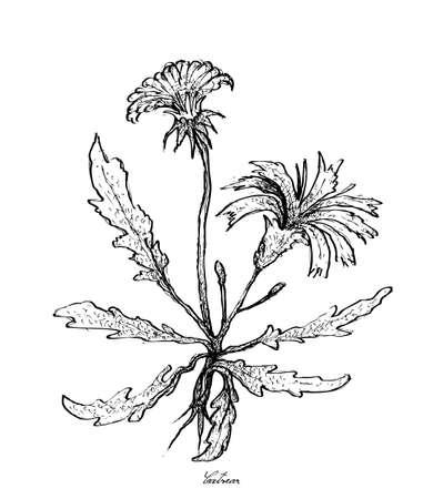 Vegetable Salad, Illustration of Hand Drawn Sketch Fresh Hypochaeris Radicata, Catsear, Flatweed, Hairy Cat's Ear or False Dandelion Isolated on White Background.