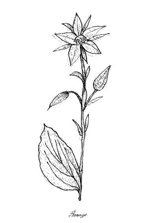 Vegetable Salad, Illustration of Hand Drawn Sketch Fresh Borago Officinalis, Borage or Starflower Isolated on White Background.