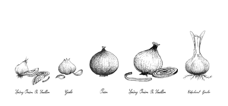Bulb & Stem Vegetable, Illustration Hand Drawn Sketch of Fresh Garlic, Elephant Garlic, Onion and Spring Onion or Scallion Used for Seasoning in Cooking. Isolated on White Background. Illustration