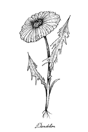 Vegetable Salad, Illustration of Hand Drawn Sketch Delicious Fresh Dandelion or Taraxacum Isolated on White Background.