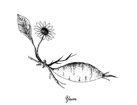 Root and Tuberous Vegetables, Illustration Hand Drawn Sketch of Fresh Yacon or Smallanthus Sonchifolius Plant Isolated on White Background.