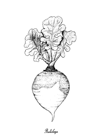 Root and Tuberous Vegetables, Illustration Hand Drawn Sketch of Fresh Rutabaga or Brassica Napus Plants Isolated on White Background. Illusztráció