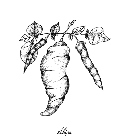 Root and Tuberous Vegetables, Illustration Hand Drawn Sketch of Fresh Ahipa or Arracacia Xanthorrhiza Isolated on White Background.