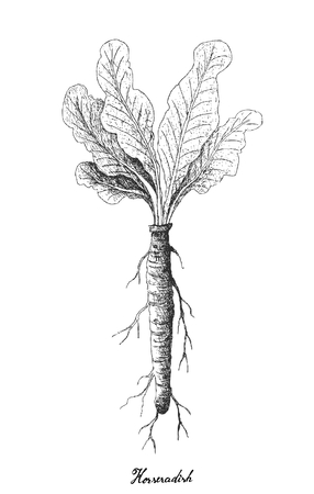 Root and Tuberous Vegetables, Illustration Hand Drawn Sketch of Fresh Horseradish or Armoracia Rusticana Plant Isolated on White Background.