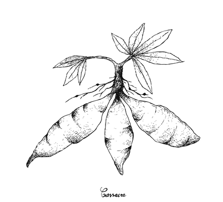 Root and Tuberous Vegetables, Illustration Hand Drawn Sketch of Cassava Roots or Manihot Esculenta Plant Isolated on White Background. Иллюстрация