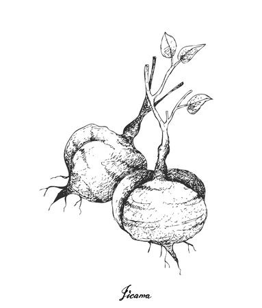 Root and Tuberous Vegetables, Illustration Hand Drawn Sketch of Fresh Jicama, Mexican Yam Bean, Mexican Turnip or Pachyrhizus Erosus Isolated on White Background.