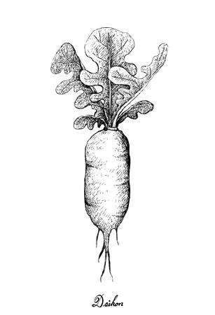 Root and Tuberous Vegetables, Illustration Hand Drawn Sketch of White Radishes or Daikon Radishes Isolated on White Background Illustration