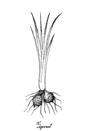 Root and Tuberous Vegetables, Illustration Hand Drawn Sketch of Tigernut or Cyperus Esculentus Plant on White Background.  Ilustração