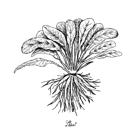 Root and Tuberous Vegetables, Illustration Hand Drawn Sketch of Fresh Skirret or Sium Sisarum Plant Isolated on White Background.