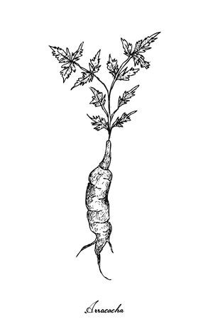 Root and Tuberous Vegetables, Illustration Hand Drawn Sketch of Fresh Arracacha, Racacha or Arracacia Xanthorrhiza Isolated on White Background.