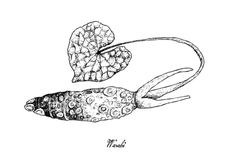 Root and Tuberous Vegetables, Illustration Hand Drawn Sketch of Fresh Wasabi Root orJapanese Horseradish Used for Japanese Condiment for Sushi and Sashimi.  Illustration