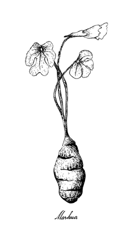 根と塊状の野菜、白い背景に隔離された新鮮なマシュアまたはトロペオラムチューブロサム植物のイラスト手描きスケッチ。