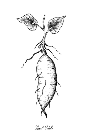 Root and Tuberous Vegetables, Illustration Hand Drawn Sketch of Whole Sweet Potato or Kumara Isolated on White Background.