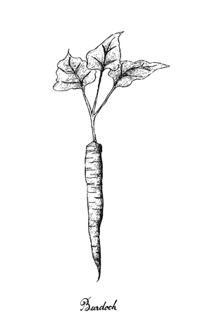 Root and Tuberous Vegetables, Illustration Hand Drawn Sketch of Burdock or Arctium Lappa Plant Isolated on White Background.
