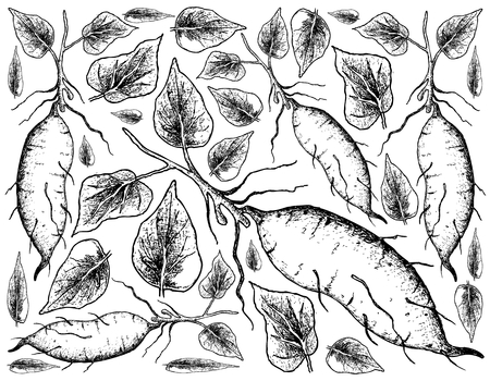Root and Tuberous Vegetables, Illustration Hand Drawn Sketch of Whole Sweet Potato or Kumara Isolated on White Background. Illustration