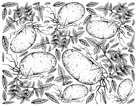 Root and Tuberous Vegetables, Illustration Hand Drawn Sketch of Potatoes Isolated on White Background. Illustration