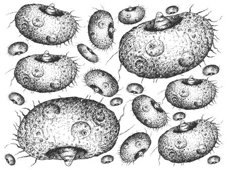 Root and Tuberous Vegetables, Illustration Hand Drawn Sketch of Amorphophallus Paeoniifolius, Elephant Foot Yam or Whitespot Giant Arum Plant Isolated on White Background.   Illustration