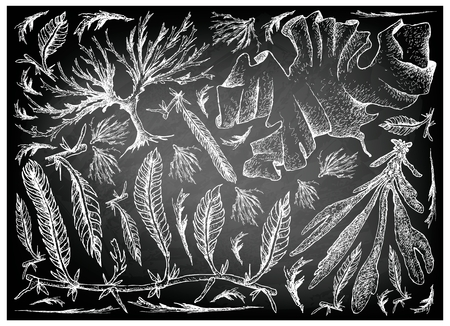 Sea Vegetables, Illustration of Hand Drawn Sketch Dulse, Caulerpa Taxifoli, Laver and Arame Seaweed on Black Chalkboard. High in Calcium, Magnesium and Iodine.