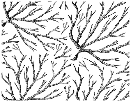 Sea Vegetables, Illustration Background of Hand Drawn Sketch Ogonori, Ogo or Sea Moss Seaweed. High in Calcium, Magnesium and Iodine.