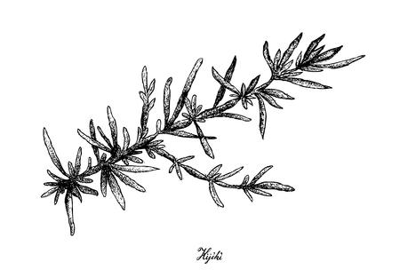 Sea vegetables, illustration of hand drawn sketch hijiki or sargassum fusiforme seaweed isolated on white background. 矢量图像