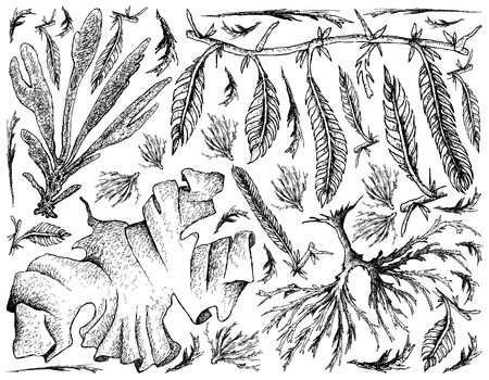 Sea Vegetables, Illustration Background of Hand Drawn Sketch Dulse, Caulerpa Taxifoli, Laver and Arame Seaweed. High in Calcium, Magnesium and Iodine.