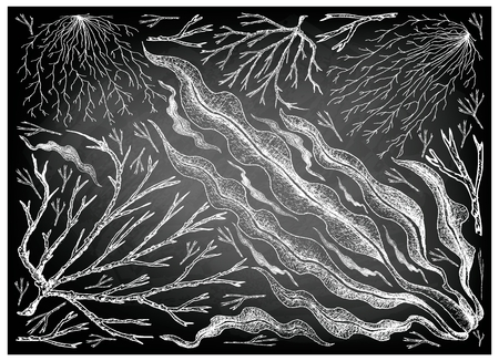 Sea Vegetables, Illustration Background of Hand Drawn Sketch Mozuku, Ogonori and Kombu Seaweed on Black Chalkboard. High in Calcium, Magnesium and Iodine. Illustration