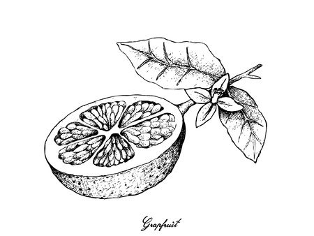 Fruit, Illustration Hand Drawn Sketch of Grapefruit Fruit Isolated on White Background, Essential Nutrient for Life with Vitamin C.