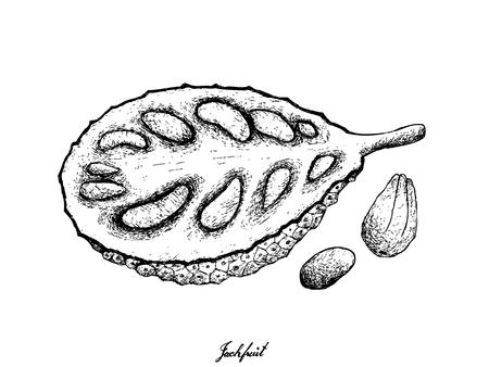 Fruit, Illustration Hand Drawn Sketch of Ripe and Sweet Jackfruit Isolated on White Background.
