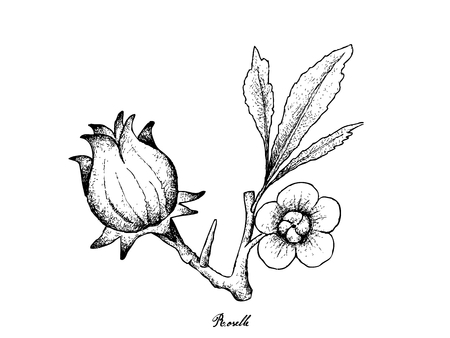 Fruit, Illustration Hand Drawn Sketch of Fresh Hibiscus Sabdariffa or Roselle Plant with Blossoms, Leaves and Fruits Isolated on White Background.