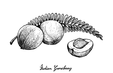 Tropical Fruits, Illustration of Hand Drawn Sketch Fresh Indian Gooseberry Isolated on White Background. Illustration